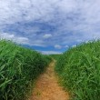 Path Through Green Field — Stock Photo