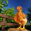 Stock Photo: Red Crested Chicken on Tree Stump