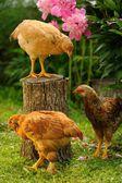 Tre polli in giardino — Foto Stock