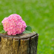Stock Photo: Inflorescence of Pink Hydrangeon Tree Stump