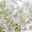 Stock Photo: White Cilantro Flowers Close-Up
