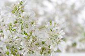 White Cilantro Flowers Close-Up — Stock Photo