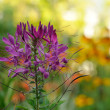 Cleome Flower (Spider Plant) — Stock Photo