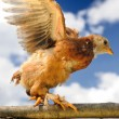 Chicken Walking on Wicker Fence with Wings Spread — Stock Photo