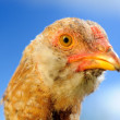 Stock Photo: Young Domestic Chicken Closeup