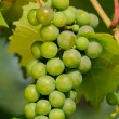 Green Grapes Growing on Vine — Stock Photo