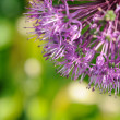 Purple Onion Flowers on Green Background — Stock Photo