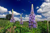Flores púrpuras lupinos en el campo — Foto de Stock