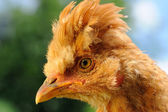 Cute Red Crested Baby Chicken in Profile — Stock Photo