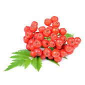Red Rowan (Mountain-Ash) Berries Isolated on White Background — Stock Photo