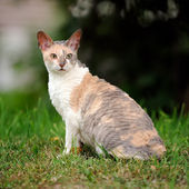 Cornish Rex Cat with Curly Hair Outdoors — Stock Photo