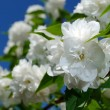 Beautiful White Jasmine Flowers on Blue Sky Background — Stock Photo