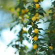 Yellow Cherry Plums on Tree Branch — Stock Photo