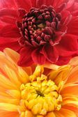 Red and Orange Dahlia Flowers Close-Up — Stock Photo