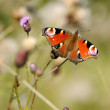 Peacock Butterfly on Flower — Stock Photo