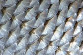 Real Roach Fish Scales Macro Background — Stock Photo