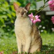 Stock Photo: Cornish Rex Cat Sitting on Green Lawn