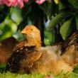 Young Chicken Resting Under Bush — Stock Photo