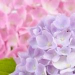 Beautiful Purple and Pink Hydrangea Flowers — Stock Photo