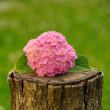 Pink Hydrangea Flowers on Tree Stump — Stockfoto
