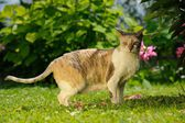 Cornish Rex Cat on Sunny Lawn in Summer — Stock Photo