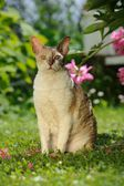 Cornish Rex Cat Sitting on Green Lawn — Stock Photo
