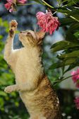 Cornish Rex Cat Playing with Flowers — Stock Photo