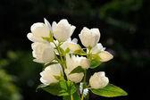 White Jasmine Flowers on Green Background — Stock Photo