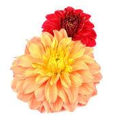 Orange och röd dahlia blommor isolerad på vit bakgrund — Stockfoto