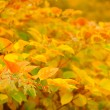 Siberian Dogwood (Cornus Alba) with Red and Yellow Leaves in Autumn — Stock Photo #37030033