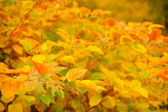 Siberian Dogwood (Cornus Alba) with Red and Yellow Leaves in Autumn — Stock Photo