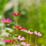 Pink Garden Cosmos Flowers in Summer — Stock Photo