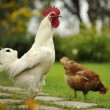 White Cock and Hen — Stock Photo #37619757
