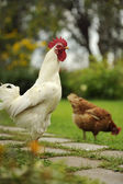 White Cock and Hen — Stock Photo