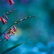 Crocosmia (Montbretia) Flowers on Flower Bed with Copy Space — Stock Photo #39597291