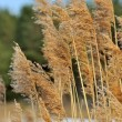 Stock Photo: Panicles of Common Reed (Phragmites)
