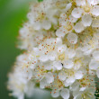 White Rowan Flowers Close-Up — Stock Photo