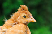 Cute Crested Baby Chicken — Stock Photo