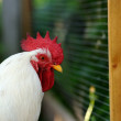 Rooster by Plastic Mesh Fence in the Farmyard — Stock Photo
