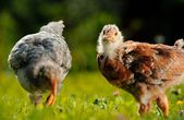 Chickens in the Farmyard — Stock Photo