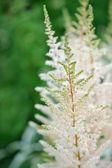 White Astilbe Flowers on Flower Bed — Stock Photo