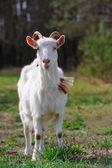 Goat on Pasture — ストック写真