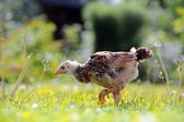 Mottled Chicken Walking on Green Lawn — Stock Photo