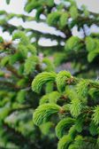 New Green Spruce Branches — Stock Photo