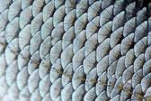 Real Roach Fish Scales Macro Texture — Stock Photo