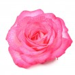 Beautiful Pink Rose Flower with Water Drops Isolated on White Background — Stock Photo #47000921