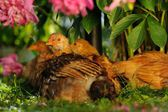Chickens Resting Under Peony Bush — Стоковое фото