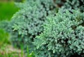 Evergreen Blue Juniper Bush — Stock Photo
