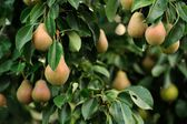 Pears Growing on Pear Tree — Stock Photo