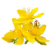Perforate St Johns-Wort Flowers Isolated on White Background — 图库照片